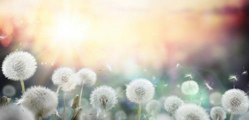 Pusteblumen im Frühling